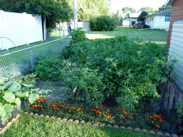My garden- with tons of tomato bushes that are taking over